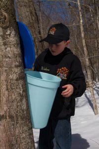William checking the sap buckets
