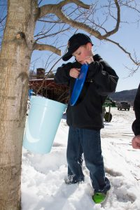 setting up a sap bucket at Purinton maple
