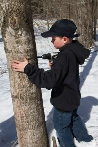using a drill to tap a maple tree