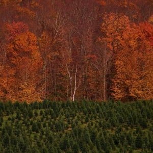 fall-tree-farm-300x300.jpg